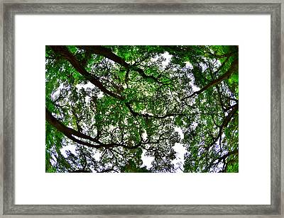 Looking Up The Oaks Framed Print