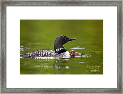 Loon And Chick Framed Print