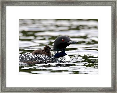 Loon Chick Framed Print