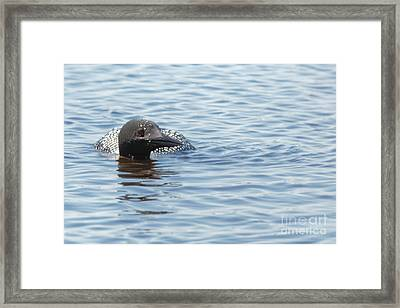 Loon In Necedah Framed Print by Natural Focal Point Photography