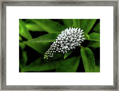 Loosestrife - Watercolor Framed Print