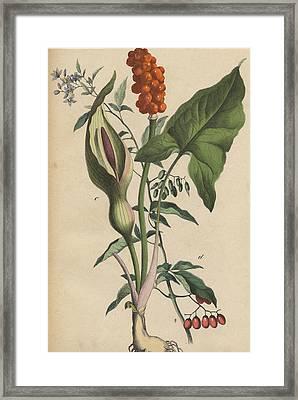 Lords And Ladies Framed Print by German Botanical Artist