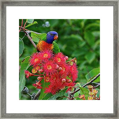 Lorikeet And Gum Nut Blossoms By Kaye Menner Framed Print