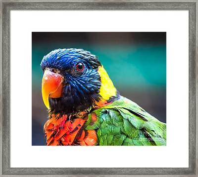 Lorikeet Glance Framed Print