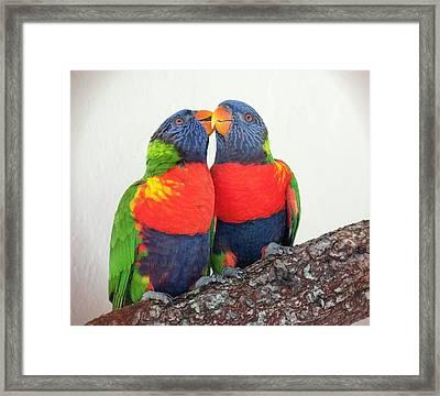 Lorikeet Lovebirds Framed Print by Phyllis Taylor