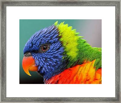 Framed Print featuring the photograph Lorikeet Portrait by Rand