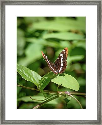 Lorquin's Admiral Butterfly Framed Print