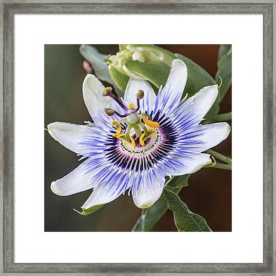 Los Angeles Passion Flower Framed Print