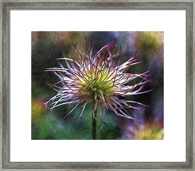 Lost Blooms Of A Pasqueflower Framed Print