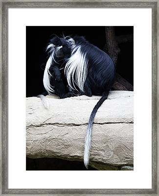 Lost In Cuddling - Black And White Colobus Monkeys  Framed Print by Penny Lisowski