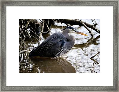 Lost Lagoon Great Blue Heron 1 Framed Print by Terry Elniski