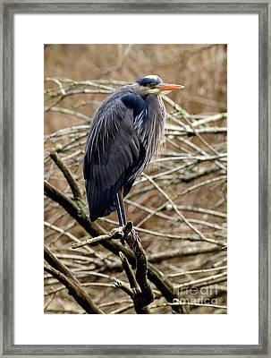 Lost Lagoon Great Blue Heron 4 Framed Print by Terry Elniski