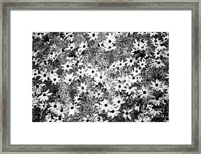 Lots Of Black-eyed Susans Infrared Framed Print by John Rizzuto