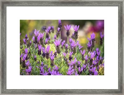 Framed Print featuring the photograph Lots Of Lavender  by Saija Lehtonen