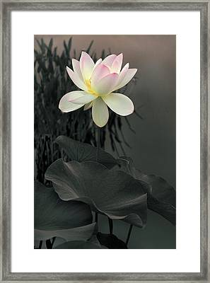 Lotus Aglow Framed Print