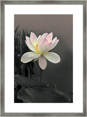 Lotus Alight Framed Print by Jessica Jenney