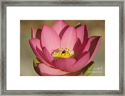Lotus And Bee Framed Print by Catherine Lau