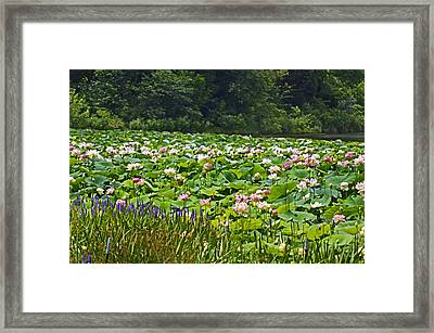 Lotus And Pickerelweed Framed Print