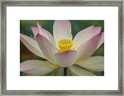 Framed Print featuring the photograph Lotus Beauty by Julie Andel