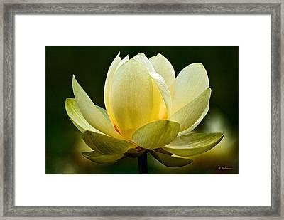 Lotus Blossom Framed Print by Christopher Holmes