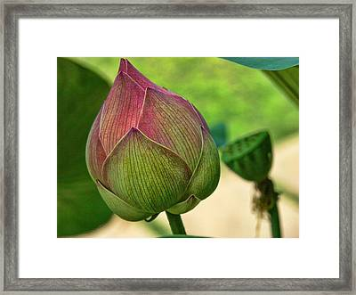 Lotus Dreaming 3 Framed Print