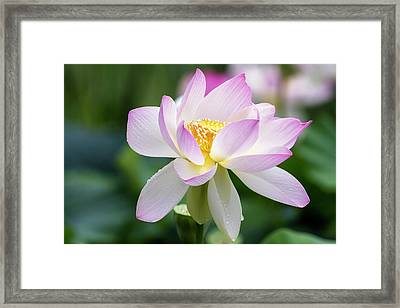 Framed Print featuring the photograph Lotus by Edward Kreis