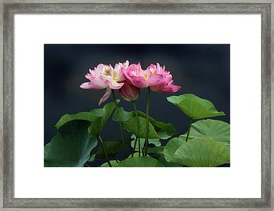 Lotus Embrace Framed Print