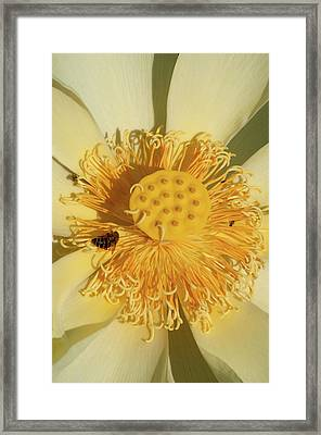Framed Print featuring the photograph Lotus Flower by Carolyn Dalessandro