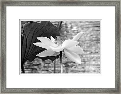 Lotus Flower In Black And White Framed Print by Geraldine Scull