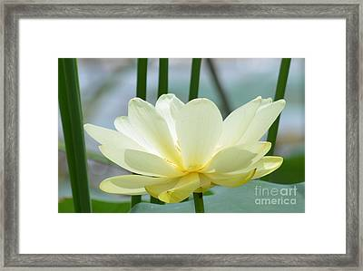 Lotus Flower In Full Bloom  Framed Print