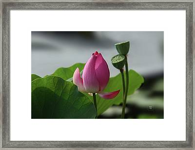 Lotus Flower In Pure Magenta Framed Print