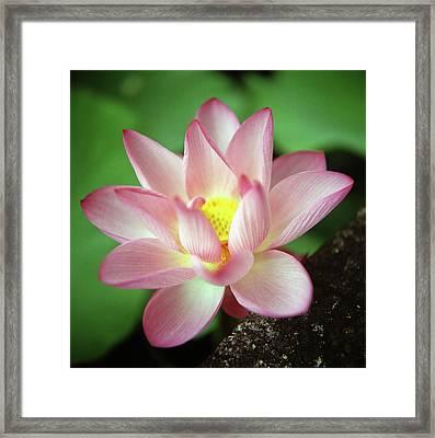 Lotus Flower Framed Print