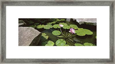 Lotus Flowers And Lilypads In A Pond Framed Print by Panoramic Images
