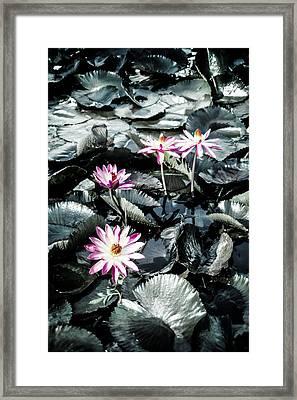 Lotus Flowers Framed Print