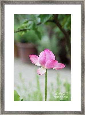 Framed Print featuring the photograph Lotus Frankly Scarlet by Tim Gainey