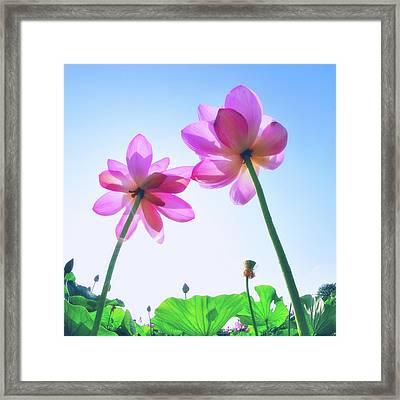 Lotus Garden Framed Print by Hidehiko Sakashita