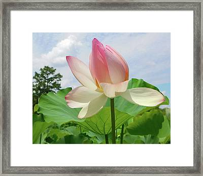 Lotus High As The Sky Framed Print