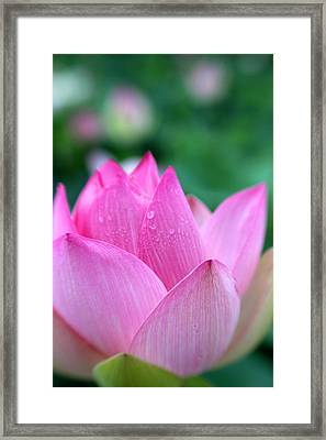 Lotus In Pink Framed Print by Carolyn Stagger Cokley