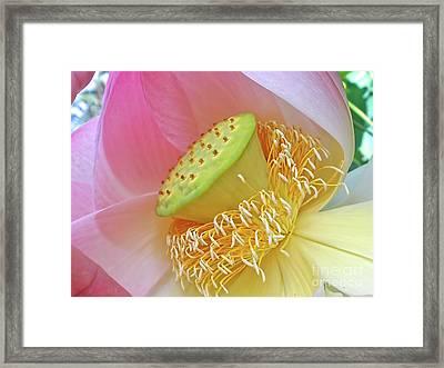 Lotus Lily Or Pink Waterlily Framed Print by Kaye Menner