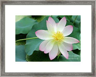 Lotus On The Right Framed Print by Sabrina L Ryan
