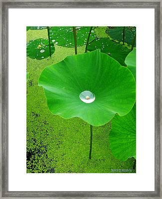 Lotus Pond Framed Print by Garth Glazier
