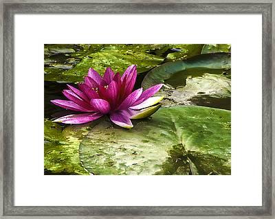 Lotus Framed Print by Svetlana Sewell