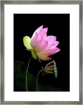Lotus  Framed Print by Thanh Thuy Nguyen