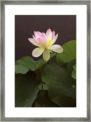 Lotus Unfurled Framed Print by Jessica Jenney