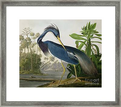 Louisiana Heron Framed Print by John James Audubon