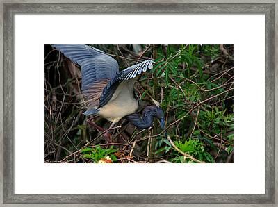 Louisiana Heron Framed Print