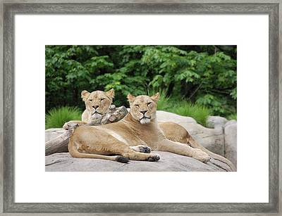 Lounging Lions Framed Print by Samantha Kimble