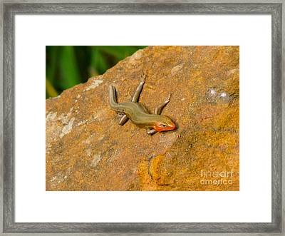 Lounging Lizard Framed Print by Rand Herron
