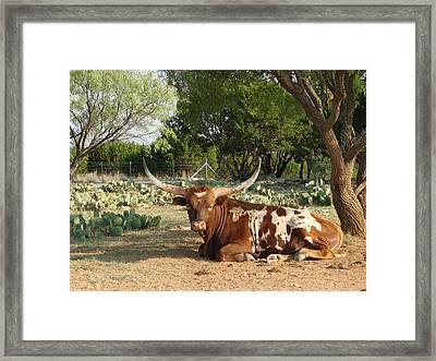 Lounging Longhorn Framed Print