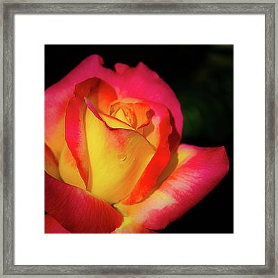 Love And Peace Rose Framed Print
